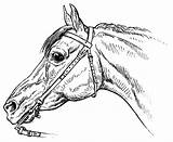 Horse Coloring Horsemanship Bridle Pages Drawing Horses Arabian Getdrawings Commons Tack Breeds Donkeys Wikimedia Lg sketch template