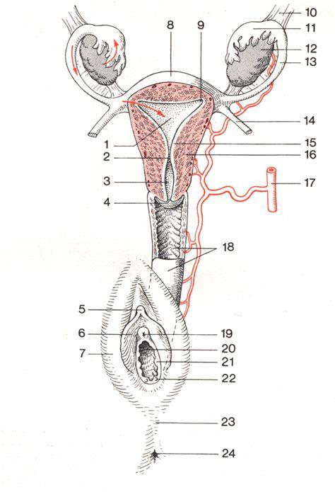 das weibliche fortpflanzungssystem