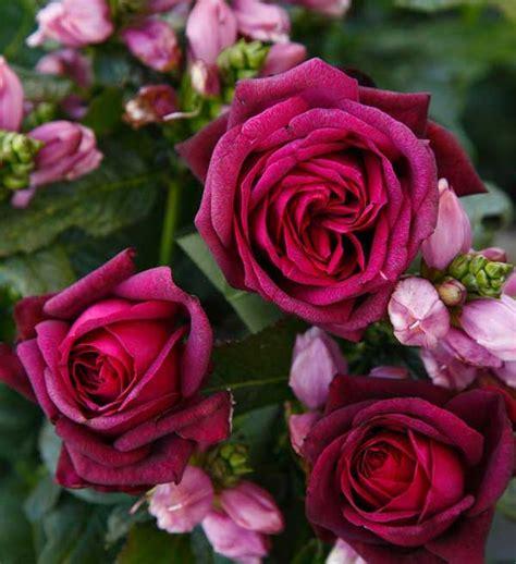 adr rosen  sechs neue rosen erhalten das adr siegel