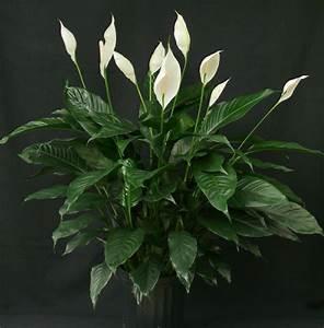 Pflegeleichte Zimmerpflanzen Mit Blüten : zimmerpflanzen mit bl ten exotische wohnzimmer zimmerpflanzen und die richtige pflege ~ Eleganceandgraceweddings.com Haus und Dekorationen