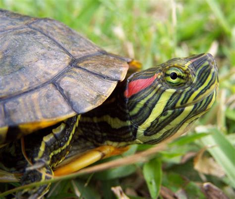 eared slider turtles red ear slider fishforums com
