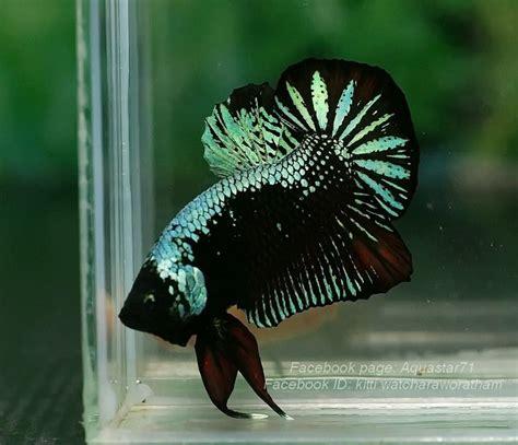 dsc betta fish betta aquarium betta