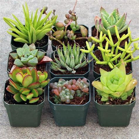 indoor flowering cactus plants indoor succulent collection 9 plugs lights and beautiful
