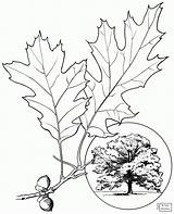 Oak Tree Coloring Pages Leaves Northern Drawing Leaf Champion Printable Trees Template Elm Coast Supercoloring Clipart Sketch sketch template