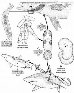 20  Hypothetical Life Cycle Of Dionchus Remorae