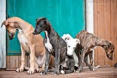 do italian greyhounds shed a lot 1000 images about greyhound on