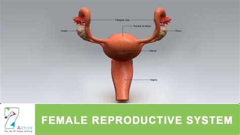 female reproductive system  human youtube