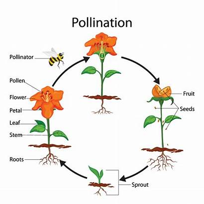 Pollination Important Why Plants Cycle Fruit They