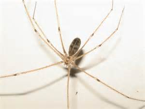 Long-Bodied Cellar Spider Pholcus Phalangioides
