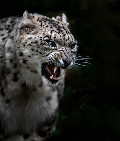snow leopard fierce roar fashion leather vinyl