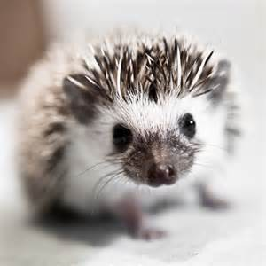 baby african pygmy hedgehog adam foster photography