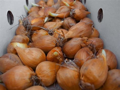 calla zwiebeln  pflanzen sie sie aus