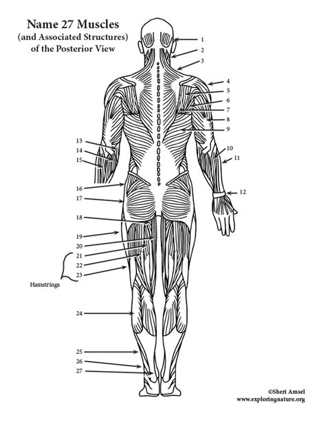 Be prepared to spend a fair amount of time on this unit. Muscles of the Posterior Body Labeling (HS-Adult)