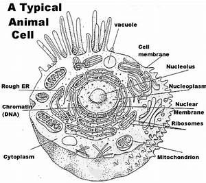 12 best images of animal cell worksheet answers labeled With plant cell diagram