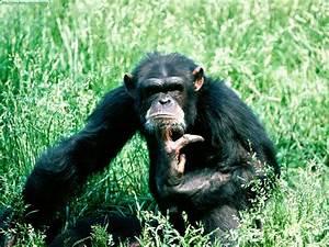 I just love monkeys: More Chimps