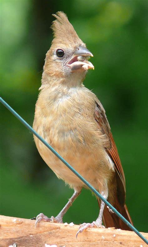 wild birds unlimited photo share baby cardinal