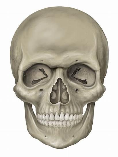 Skull Skeleton