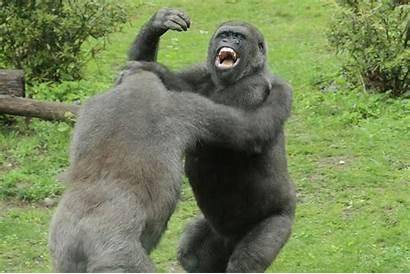 Gorilla Gorillas Fighting Lion Fights Boxing Mirror