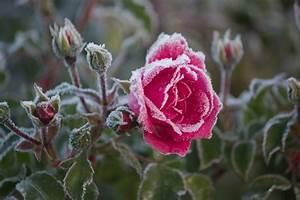 Rosen Im Topf überwintern : rosen berwintern ~ Orissabook.com Haus und Dekorationen