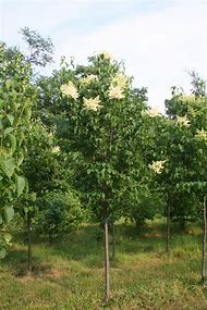 Best 25 ideas about japanese tree lilac find what youll love japanese flowering lilac tree publicscrutiny Image collections