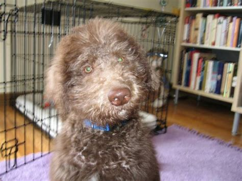Do Aussiedoodles Shed Hair by Labradoodles