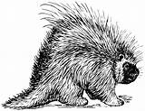 Porcupine Coloring Pages Animals Wildlife sketch template