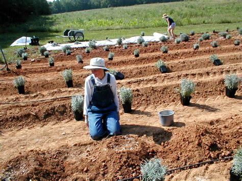 planter lavande en pot planting care lavender farm