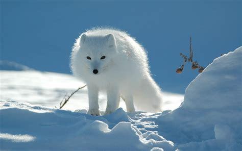 Arctic Background Wallpapers Arctic Fox Wallpapers