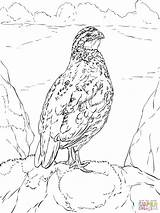 Quail California Coloring Bobwhite Quails Drawing Printable Valley Nothern Getdrawings Coloringhome sketch template
