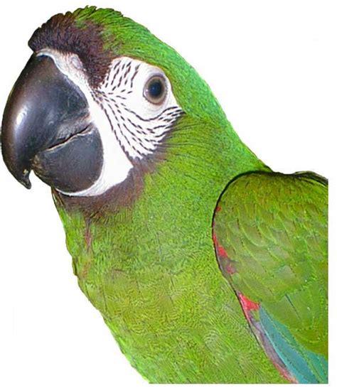 mini macaw top 28 mini macaw mini macaw and quaker parrot quaker parrots pinterest exotic birds aren