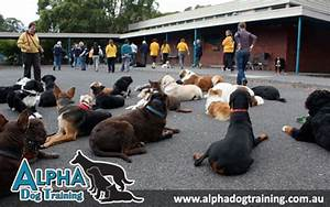 Home the alpha canine group for Alpha dog training
