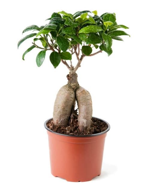 Bonsai Ficus Ginseng Pflege by How To Grow A Bonsai Orange Tree Grow A Bonsai Tree