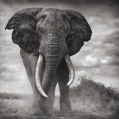 elephant bull  dust amboseli  bull elephant