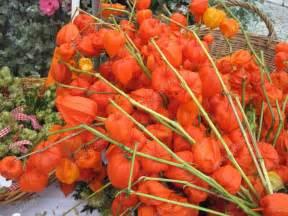 japanese lantern plant fleurs séchées orange automne lanternes chinoises
