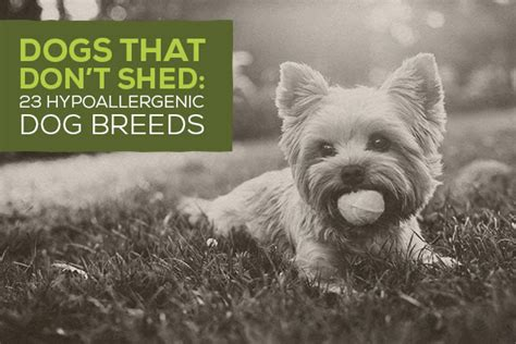 dogs  dont shed  hypoallergenic dog breeds