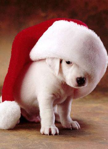 funny christmas dog pictures funny pics