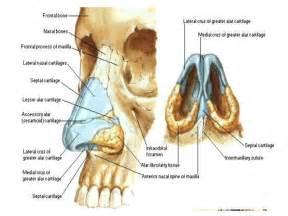 Nasal Anatomy Vestibule of Nose