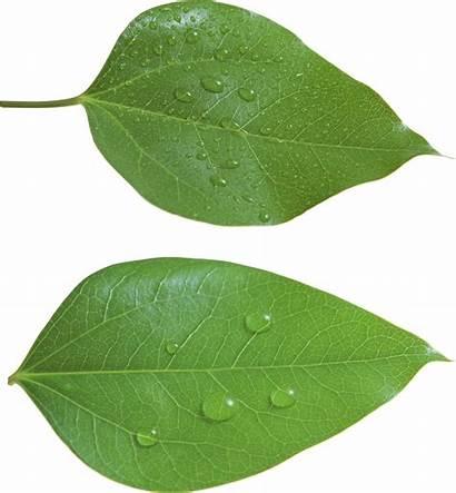 Leaf Leaves Transparent Clipart Background Leave Nature