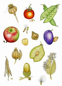 Fruits And Seeds Diagram By Lizzie Harper