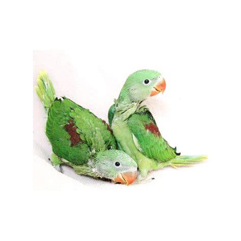baby pet parrots