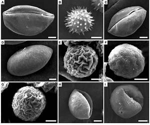 Sem Views Of Pollen Grains  A Alphonsea Monogyna  B Desmos