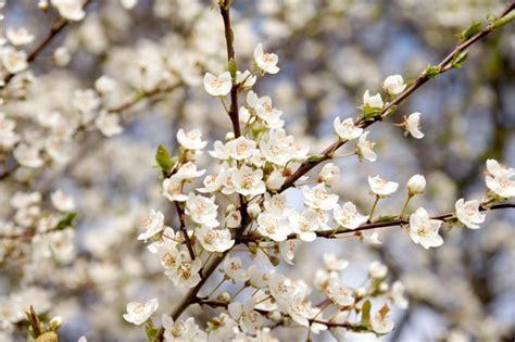 white flowering plum tree free stock photos rgbstock free stock images flowering spring al71 april 09 2012 192