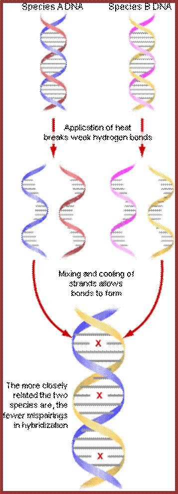 Dna Hybridization Diagram Images - How To Guide And Refrence