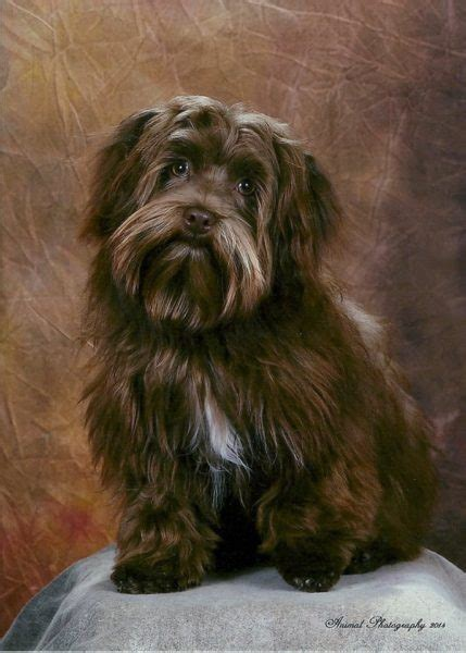 havanese hairstyle options certified pet grooming  tampa