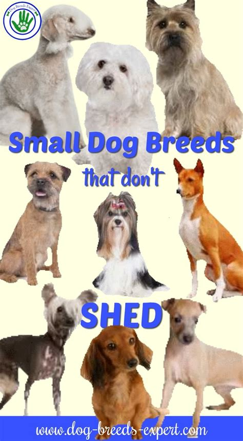 small that doesn t shed 29 small non shedding breeds