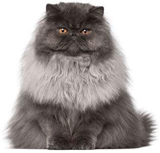 Royal Canin Persian Dry Cat Food, 7lb Bag Chewycom