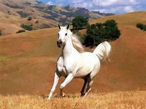 Au Cheval Blanc : cheval blanc au galop ~ Markanthonyermac.com Haus und Dekorationen