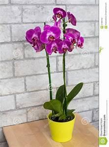 orchidee pourpre d39interieur dans le pot de fleur photo With pot de fleur d interieur