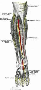 Superficial peroneal nerve - Wikipedia  Superficial
