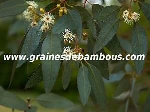 Mimosa Résistant Au Froid : graines d 39 eucalyptus r sistant au froid ~ Melissatoandfro.com Idées de Décoration